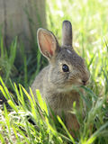 Young rabbit in green grass Royalty Free Stock Photography