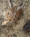 Young rabbit with long ears Royalty Free Stock Photo