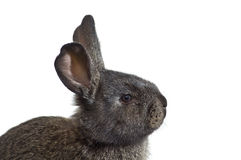 Young rabbit looking above Stock Image