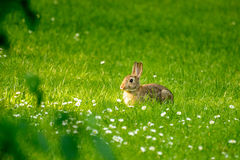 Young rabbit in a meadow with daisies Stock Photography