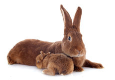 Young rabbit and mother Stock Photography