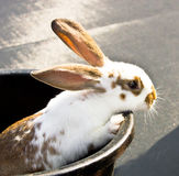 Young rabbit peeking out of a bucket Royalty Free Stock Photos