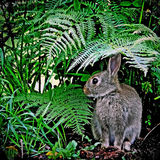 Young Rabbit - Scotland. A young rabbit visiting a Scottish country garden in early summer Stock Photography
