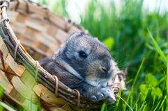 Young rabbit sits in a basket Stock Photography