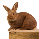 Young rabbit on a wooden box. Young Triantha rabbit on a wooden box Stock Photo