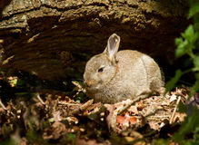 Young Rabbit in Woodland Stock Images
