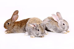 Young rabbits Royalty Free Stock Photo