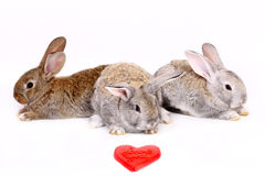 Young rabbits Royalty Free Stock Photography