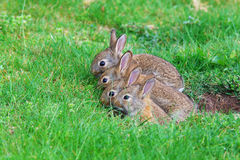 Young rabbits Stock Photos