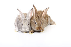 Young rabbits Stock Photography
