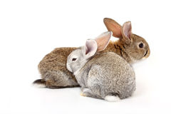 Young rabbits Royalty Free Stock Image