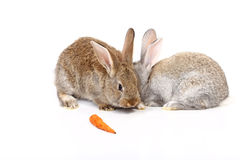 Young rabbits Stock Images