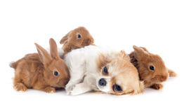 Young rabbits and chihuahua Royalty Free Stock Photo