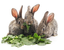 Young rabbits that eat greens. Stock Photo