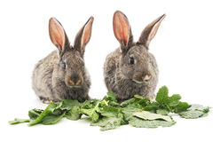 Young rabbits that eat greens. Stock Image