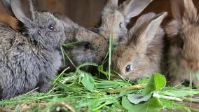 Young rabbits eating grass in of a hutch. Little young rabbits eating grass in of a hutch stock video footage