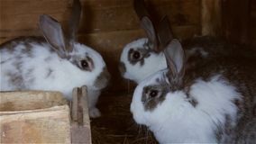 Young rabbits in a hutch European Rabbit - Oryctolagus cuniculus.  stock video