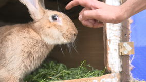 Young rabbits in a hutch. Young rabbits in a hutch European Rabbit - Oryctolagus cuniculus stock video footage