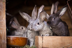 Young rabbits popping out of a hutch Stock Image