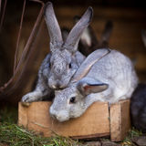 Young rabbits popping out of a hutch Stock Photo