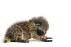 Young Raccoon Royalty Free Stock Photos
