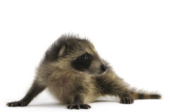 Young Raccoon Stock Images