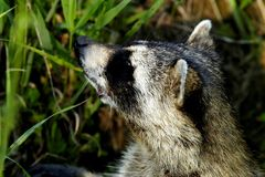 Young Raccoon. A young raccoon looking to come out of its hidding place Stock Photos