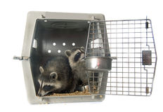 Young raccoon in cage royalty free stock photos