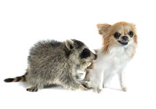 Young raccoon and chihuahua Royalty Free Stock Photo