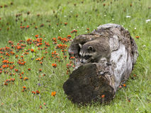 Young Raccoon Climbing on a Log royalty free stock photo