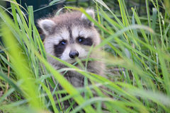 Young Raccoon. Close up portrait of young raccoon in it's natural environment Royalty Free Stock Image