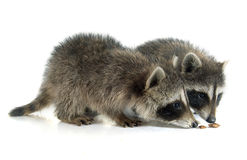 Young raccoon Royalty Free Stock Photography