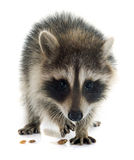 Young raccoon Stock Photography