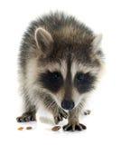 Young raccoon Stock Photography