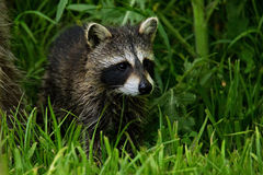 Young Raccoon In The Grass. Young Raccoon In The Grass comes out to explore Stock Photography