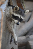 Young raccoon is in the house stock image