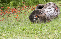 Young Raccoon and Orange Wildflowers Royalty Free Stock Photos