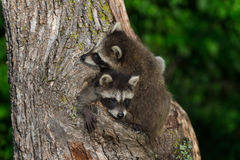 Young Raccoon (Procyon lotor) Being Climbed Over by Sibling Stock Images