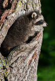 Young Raccoon (Procyon lotor) Blends in with Tree Stock Image