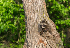 Young Raccoon (Procyon lotor) Climbs in Tree Royalty Free Stock Photos