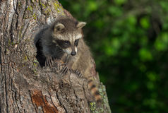 Young Raccoon (Procyon lotor) Clings to Tree Royalty Free Stock Image