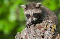 Young Raccoon (Procyon lotor) Crouches on Stump Royalty Free Stock Photography