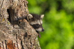Young Raccoon (Procyon lotor) Hangs Out Knothole Royalty Free Stock Images