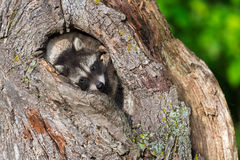 Young Raccoon (Procyon lotor) Huddles in Knothole Stock Photo