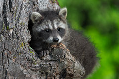 Young Raccoon (Procyon lotor) in Knothole Stock Photography