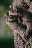 Young Raccoon (Procyon lotor) Looks out of Hole in Tree Stock Image