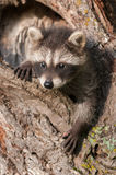 Young Raccoon (Procyon lotor) with One Paw Out Stock Images
