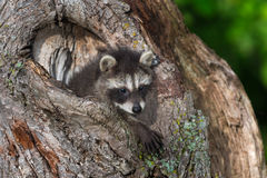 Young Raccoon (Procyon lotor) Paws Out Knothole Royalty Free Stock Image