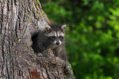 Young Raccoon (Procyon lotor) Paws Out of Knothole Royalty Free Stock Photography