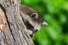Young Raccoon (Procyon lotor) Peeks Around Tree Royalty Free Stock Photo